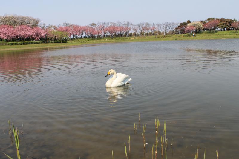 八重桜が美しい拳湖をゆうゆうと泳ぐ白鳥