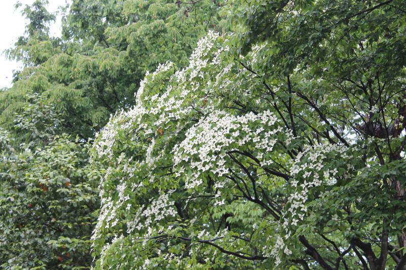 今朝は小雨。公園のヤマボウシがしっとり濡れています