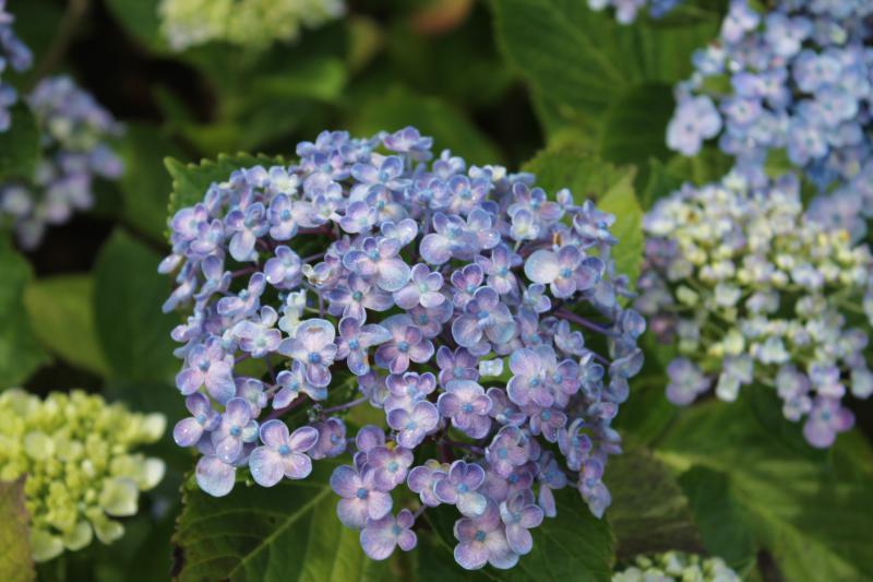 めずらしい品種のバイカザキアジサイ(梅の花のようです)