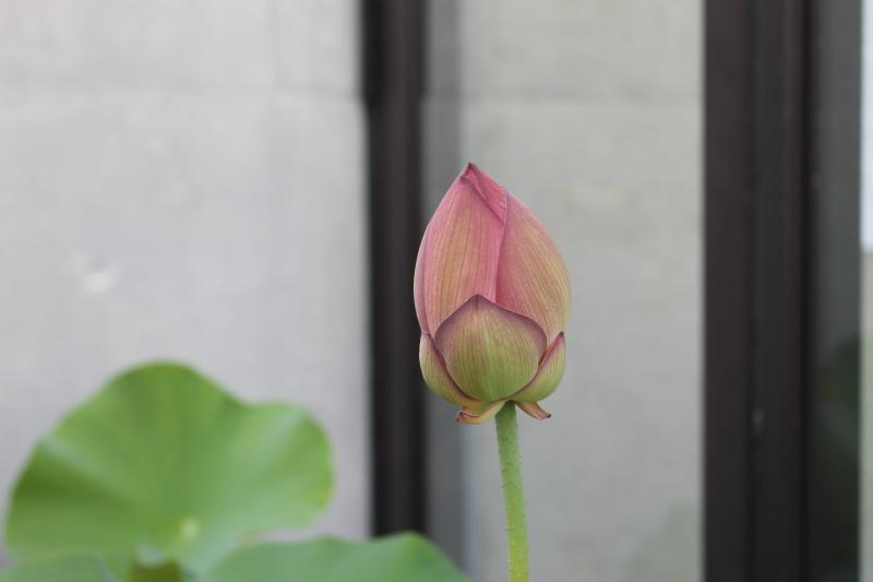 祈りの古代ハス。今年3個目の蕾が、明朝は咲くかな?