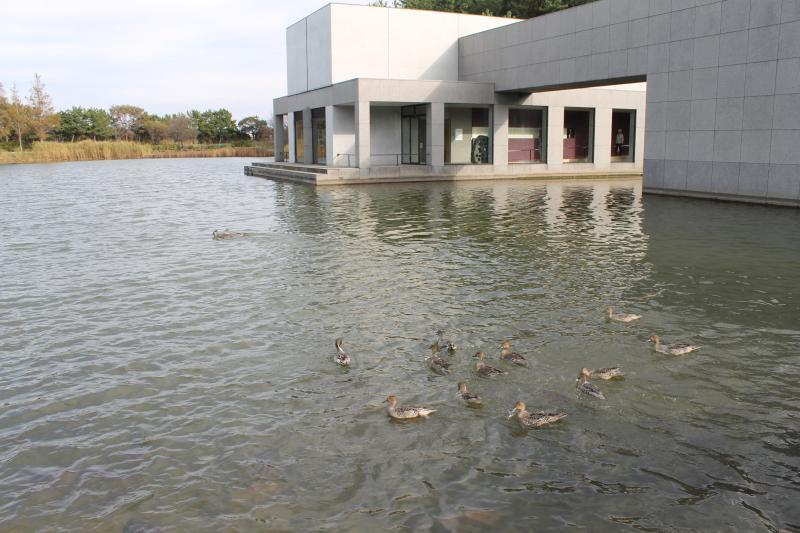 拳湖で遊ぶ渡りのカモ