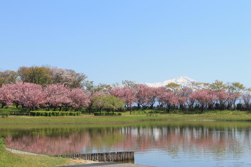 今日の飯森山公園。青空に鳥海山と八重桜が美しい!