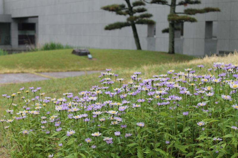 久しぶりの雨に土門拳が好きな「みやこわすれ」の花もほっ♥