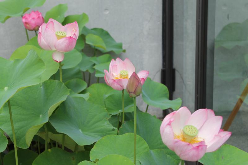今朝のハス。3つの花はもう午後には散るでしょう